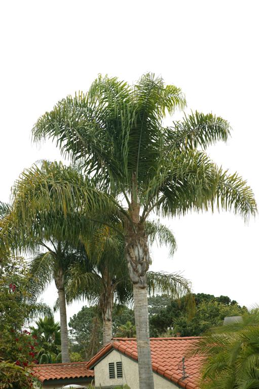 Queen Palms domestic