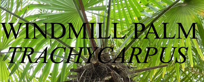 Windmill_Palm_Banner