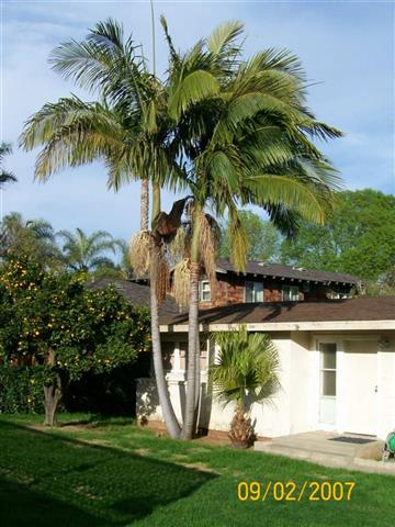 King Palm Archontophoenix