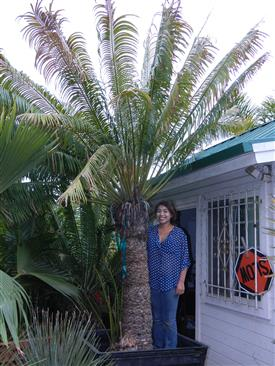 cycad in 36 inch box