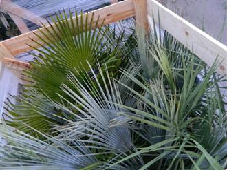 Pallet of Palm Trees