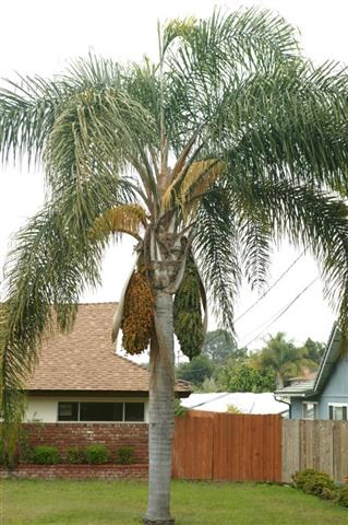 Queen Palm, mature fruit on left side