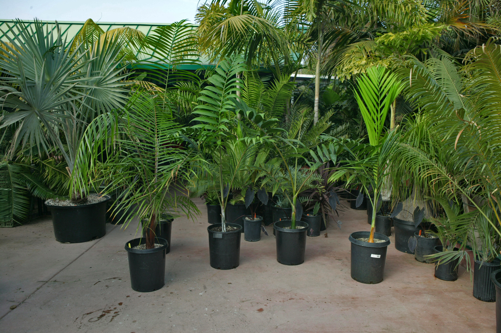 Tour of Jungle Music Palms, Cycads amp; Tropical Plants