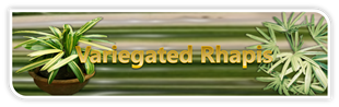 Veriegated Rhapis banner