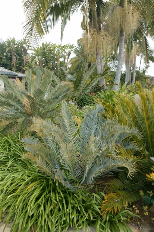 Cycads and Palms1