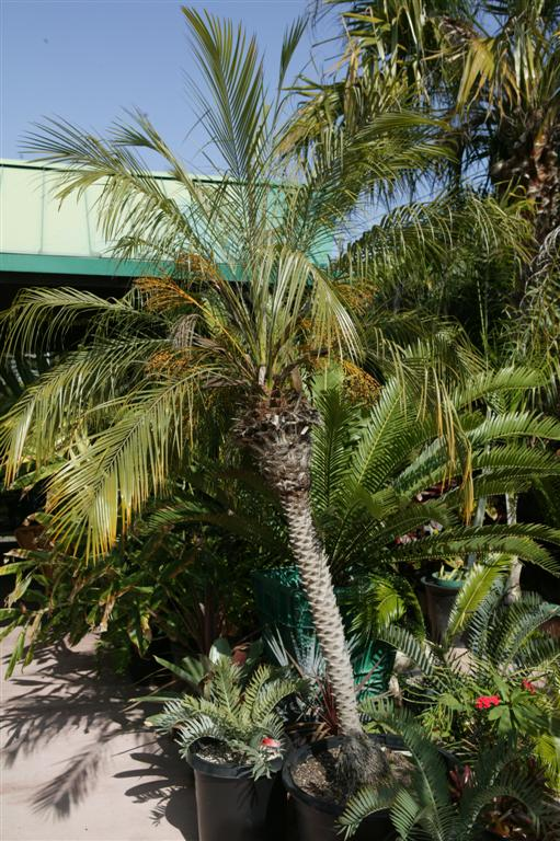 pygmy date palm single trunk Offered by most nurseries 3 in a tub, this lovely tree is often found indoors, malls and other commercial areas and valued for their limited height.
