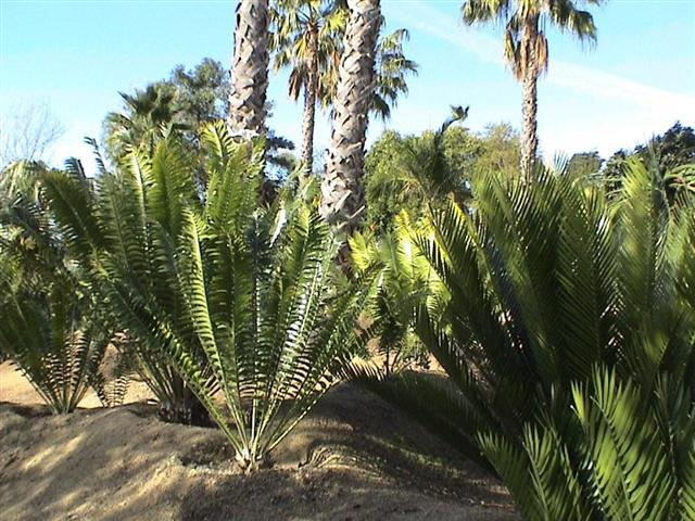 cycads as part of garden design