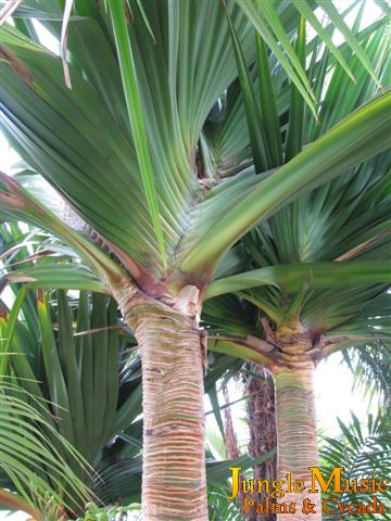 pandanus as part of garden design